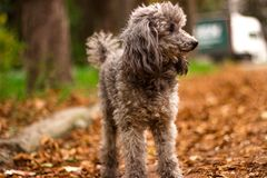 Happy puppy sitting and looking at the camera during walk in the park royalty free stock image