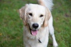 English Cream Golden Retriever Puppy. White Golden Retriever puppy is very happy stock image