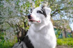 Happy purebred Australian Shepherd dog  sitting on a blooming beautiful colorful trees in spring in the park.  stock photos
