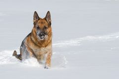 Happy purebred German shepherd running in the snow Royalty Free Stock Images