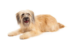 Happy Pyrenean Shepherd Dog Laying Stock Images