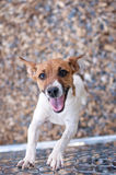 Happy Rat Terrier Dog at a Chain Link Fence Royalty Free Stock Image