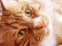 Happy red cat with green eyes. Happy red cat with a lazy sight Royalty Free Stock Photo