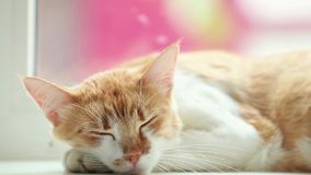 Happy red cat kitten sleeping on the white windowsill, close up, dynamic scene. 50fps video stock video footage