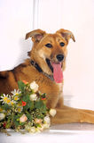Happy red dog Royalty Free Stock Images