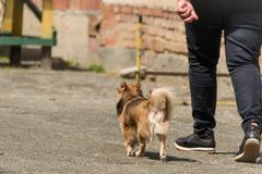 A happy red-headed puppy runs next to the host for a walk. A man walks down the street with his little dog. The concept royalty free stock photo