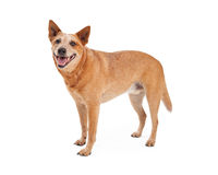 Happy Red Heeler Standing Stock Photo
