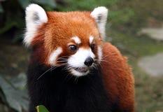 Happy red panda Royalty Free Stock Photos