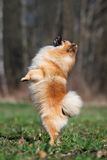 Happy red spitz dog posing outdoors Stock Photos
