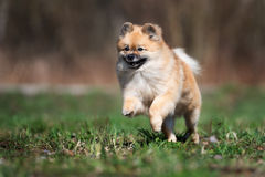 Happy red spitz dog running outdoors Stock Images