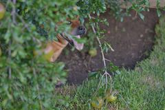 Peek a boo. Happy red staffie playing peek a boo under tree royalty free stock image