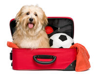 Happy reddish Bichon Havanese dog in a red traveling suitcase. Happy reddish Bichon Havanese dog is sitting in a red traveling suitcase with his soccer ball and Stock Images