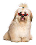 Happy reddish Havanese dog is wearing a funny red sunglasses stock photo