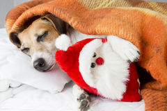 Happy relaxed dog sleeps hugging a toy Santa Claus Stock Images