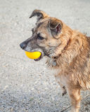 Happy Rescue Dog Fetching a Yellow Ball Stock Photography