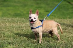 Happy Rescue Dog at the Park. Happy rescue dog walking around at a park Royalty Free Stock Image