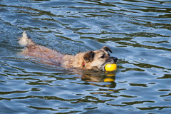 Happy Rescue Dog Swimming with Yellow Ball Royalty Free Stock Images