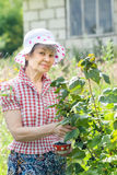Happy retired woman with green branch of black currant. In own garden Stock Photography