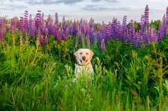 Happy Retriever fawn in a field of purple flowers. Happy fawn Pug in a flower field purple Lupino Royalty Free Stock Photo