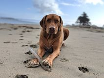 Cute happy big dog with a stick playing fetch on the beach looking at camera with wrinkled brow on sand with blurred blue sky royalty free stock image