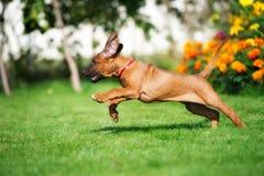 Happy rhodesian ridgeback puppy running in summer Royalty Free Stock Image