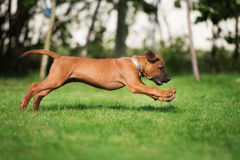Happy rhodesian ridgeback puppy running in summer Stock Image