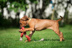 Happy rhodesian ridgeback puppy running in summer Stock Images