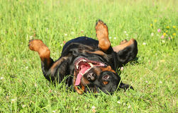 Happy Rottweiler dog. Resting on green grass. Outdoor shoot Stock Images