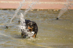 Happy Rottweiler Playing in the Water Fountain Royalty Free Stock Photography