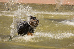Happy Rottweiler Playing in the Water Fountain Royalty Free Stock Images