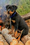 Happy Rottweiler Puppy Royalty Free Stock Photo