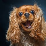 Happy ruby cavalier king charles spaniel catching treats royalty free stock photography