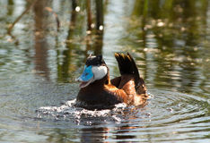 Happy Ruddy Duck Royalty Free Stock Photos