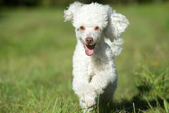 Happy Running Dog Stock Photography