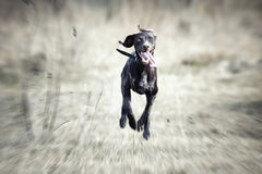 Happy running dog Royalty Free Stock Images