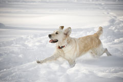 Happy running dog. In the snow Royalty Free Stock Image