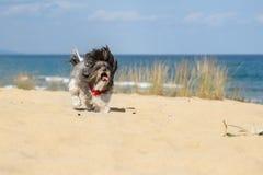 Happy running dog on the beach stock photos