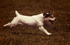 Happy running dog Stock Images