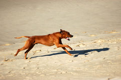Happy running dog Royalty Free Stock Image