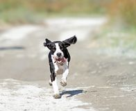 Happy running dog Royalty Free Stock Photography