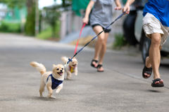Happy running dogs. Happy Pomeranian dogs running along their masters stock image