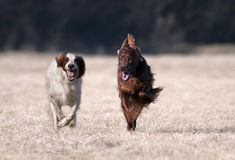 Happy running dogs Royalty Free Stock Photo