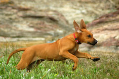 Happy running puppy Royalty Free Stock Photo