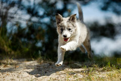 A smiling sweet little gray and white border collie pup is making a jump while running happily trough nature. Stock Image