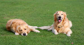 Happy and sad dogs. Two beautiful golden retriever dogs one happy and the other sad Stock Photos