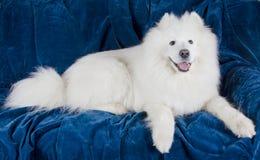 Happy Samoyed dog Royalty Free Stock Photography