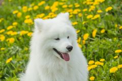 Happy Samoyed dog puppy with a funny face and tongue Stock Photography
