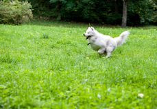 Happy Samoyed Dog Running on the grass Royalty Free Stock Photos