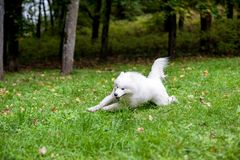 Happy Samoyed Dog Running on the grass Stock Photo