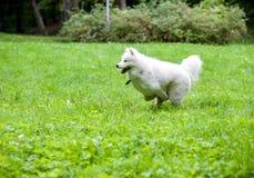 Happy Samoyed Dog Running on the grass.  Stock Photos